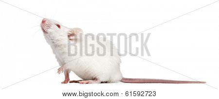 Side view of an albino white mouse looking up, Mus musculus, isolated on white