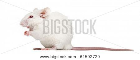 Side view of an albino white mouse sitting, Mus musculus, isolated on white