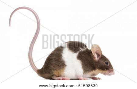 Side view of a Common house mouse, Mus musculus, isolated on white