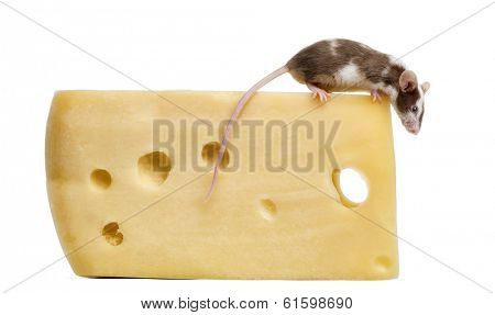 Common house mouse perched on top of a big piece of cheese, looking down, Mus musculus, isolated on white