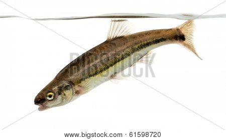 Side view of an Eurasian minnow swimming down, under water line, Phoxinus phoxinus, isolated on white