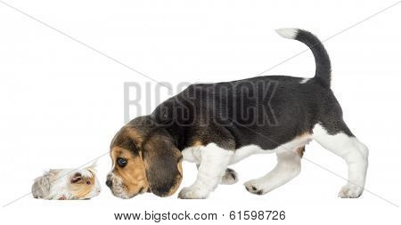 Side view of Beagle puppy and guinea pig getting to know each other, isolated on white