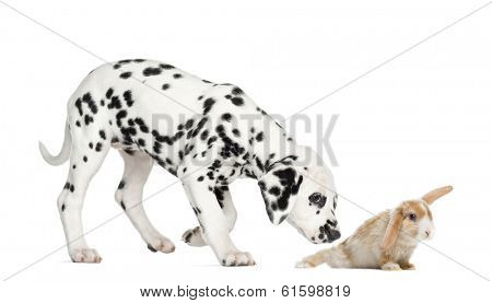 Side view of a Dalmatian puppy sniffing a rabbit, isolated on white