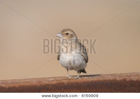 Female Ashy-crowned Sparrow-lark Eremopterix grisea sitting on a rail poster