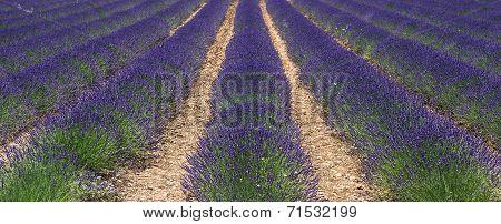Fresh Lavender Flowers. Valensole, Provence, France