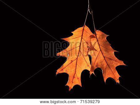 dried oak leafs on black