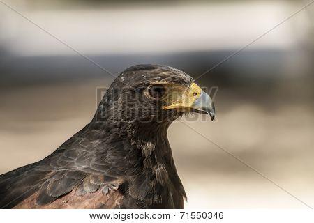 Raptor, American Eagle mousetrap poster