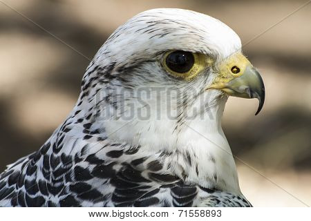 hawk, beautiful white falcon with black and gray plumage poster