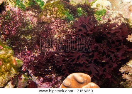 Saltwater Aquarium Red Vegetation against Coral Reef poster