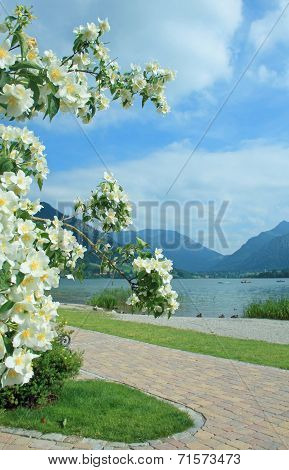 Lake View Schliersee, Upper Bavaria, With Blooming Yasmine Bush, Springtime