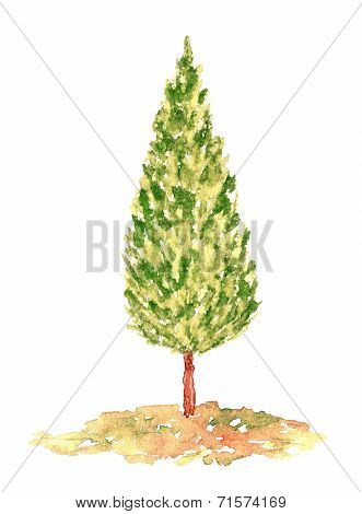 Watercolor Cypress Tree, Hand Drawn And Painted