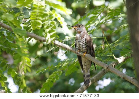 Indian Cuckoo Cuculus Micropterus