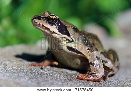 Big Brown Frog