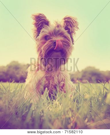 a cute yorkshire terrier sitting in the grass licking his mouth toned with a retro vintage instagram filter  poster