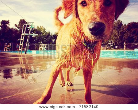 a golden retriever at a local public swimming pool toned with a retro vintage instagram filter effect  poster