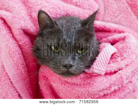 Cute Gray Soggy Cat After A Bath