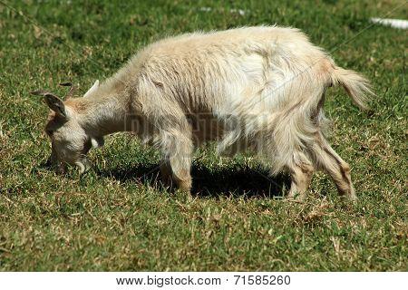 White Goat in a Field