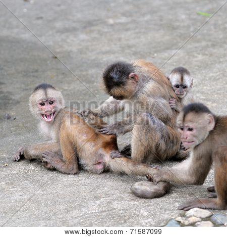 Happy Family (in Monkey's Conception) In Misahualli, Amazon, Ecuador