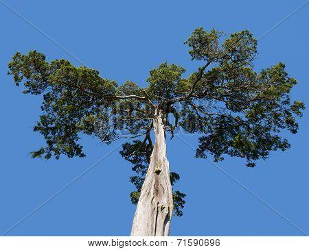 Old Cedar Tree At Appomattox National Park