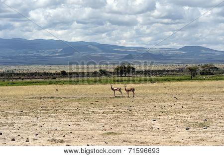 Grant antelope in the wild natural habitat poster