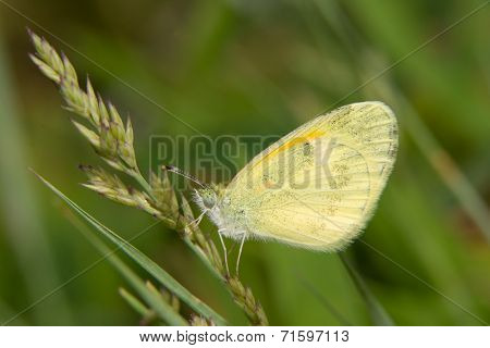 Dainty Sulphur butterfly, the smallest North American pierid, resting on grass