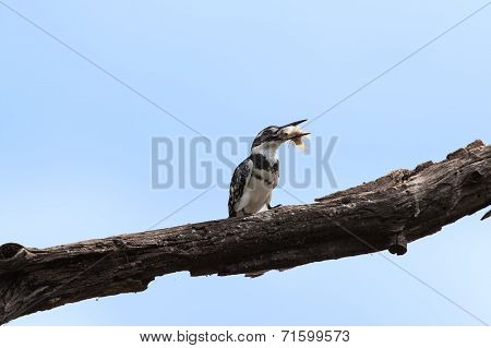 Pied kingfisher killing a fish by hitting it on a branch poster