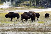 Horizontal image of young North American Buffalo showing affection towards her mother buffalo with herd and hot springs in background within Yellowstone Park poster