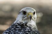 beautiful white falcon with black and gray plumage poster