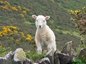little cuddly lamb in the countryside of south england poster