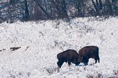 Two European Bisons (Bison bonasus) fighting on Snow in Winter poster