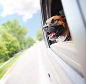 a boxer pit bull mix dog riding in a car  poster