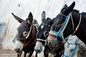Donkeys in Fira on the Santorini island, Greece. They are a local symbol and take people, tourists to the port down the cliff. poster