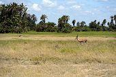 Antelope Grant Amboseli National Park in Kenya. Kenya poster