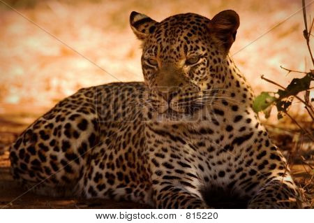 Leopard basking in the sun