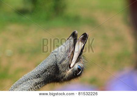 Ostrich Tilting It's Head Back