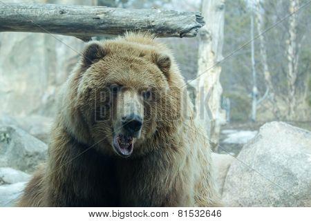 Brown Bear At The Zoo