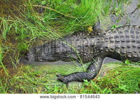 Chilling Gator