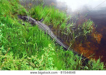 Napping Gator