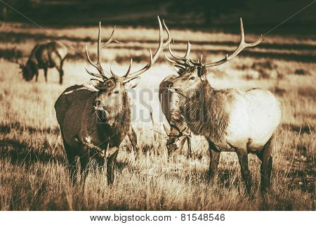 Colorado Elks Gang in Estes Park. Colorado Wildlife. Vintage Brown Color Grading. poster