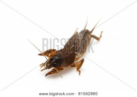 Mole cricket isolated on white background (Gryllotalpidae) poster