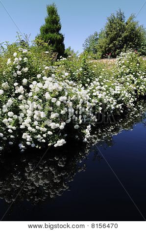 White Flowers Reflecting in Pond
