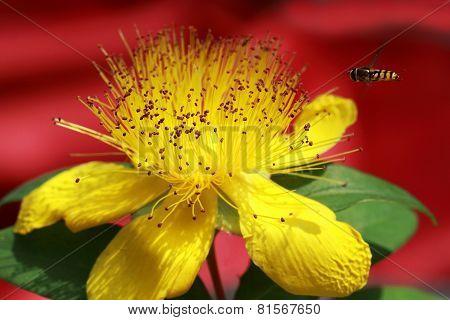 Yellow Hypericum beanii flower