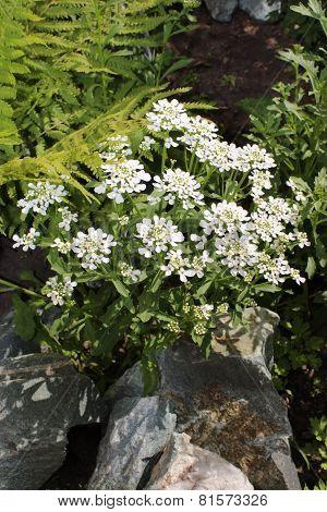 Iberis flower bloom in the garden