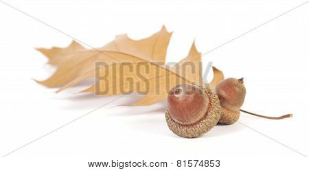 Two acorns with an oak leaf