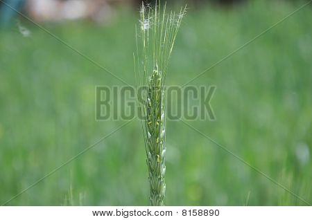 Single Wheat Ear