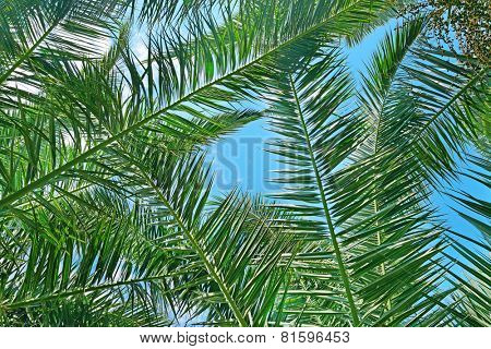 Branches of a coconut tree on background sky.