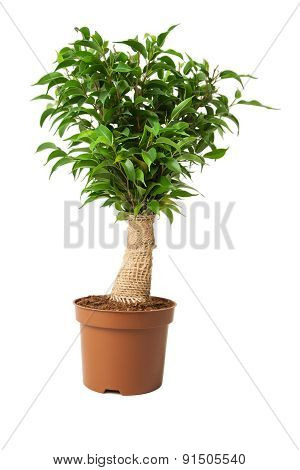 Ficus In A Pot On White.