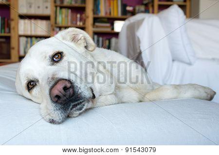 Spanish Mastiff lying on sofa with library on background