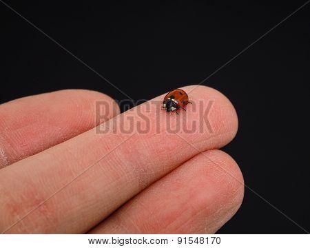 Ladybird Walking On Middle Finger Isolated Towards Black Background