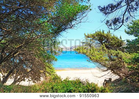 Pine Trees By The Shore In Capo Testa